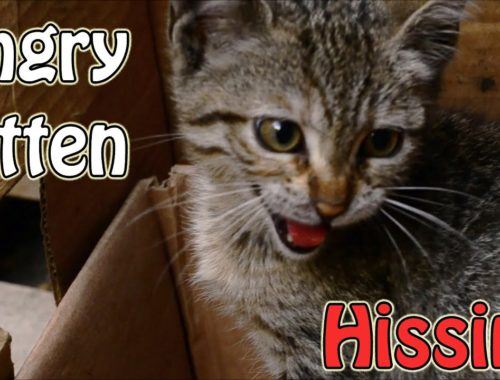 Angry kitten eating kitten food | Angry kitten |Cute Kittens