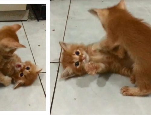 Cute Kittens Meowing Loudly Screaming When Play Fighting & Wrestling, Anak Kucing Lucu Cats Meowing