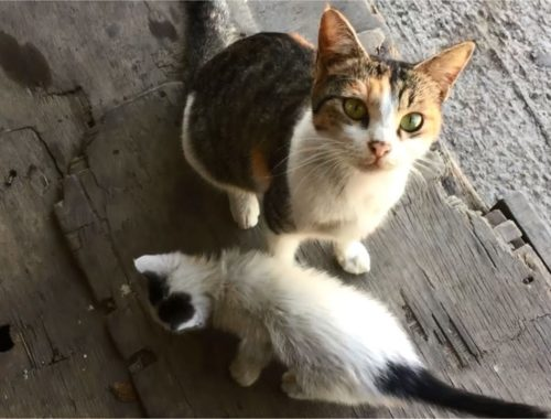 Hungry Mom Cat Wants Affection & Her Cute Kitten Scared Of Me, Anak Kucing Lucu, Stray Cats Meowing