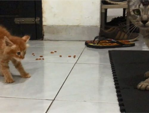 Angry Kittens, Kittens Was Curious But Scared Of A Stray Tabby Cat - Anak Kucing Lucu, Cats Meowing