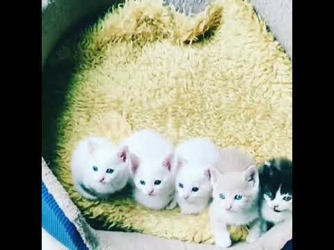 Lovely cute kittens playing with DAD