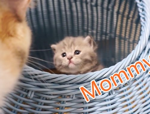 "British Shorthair Cat So Cute Kittens Desides to ""Break Prison"" 英短幼貓越獄探索新世界 